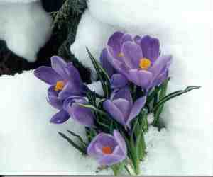 Crocus Flowers from The Door Garden Blog